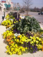 kale russian red and redbor with pansies