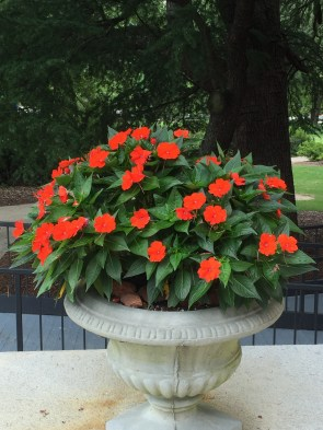 Sunpatiens Electric Orange