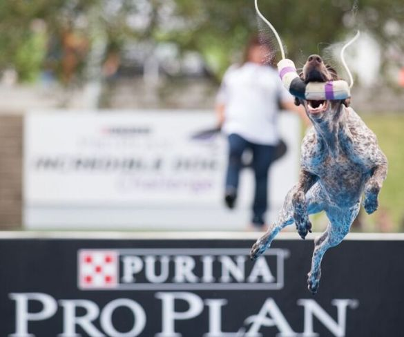 Purinas Incredible Dog Challenge delivers Gold