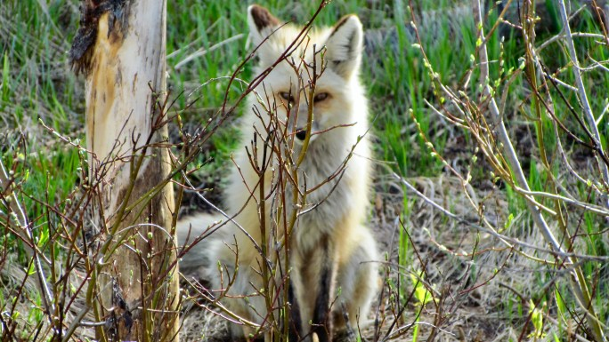 Red Fox behind Base Camp @ Grand Lake