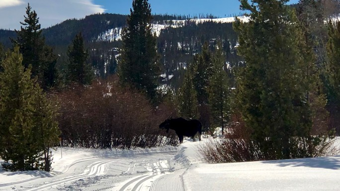 Bull moose at the Gold Run Nordic Center