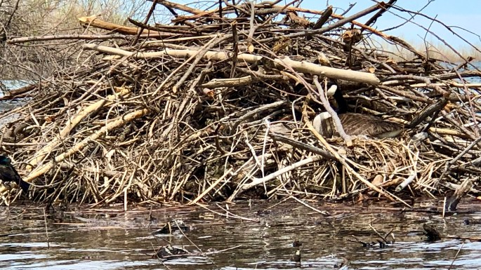 Canada Goose nesting on a Beaver Lodge