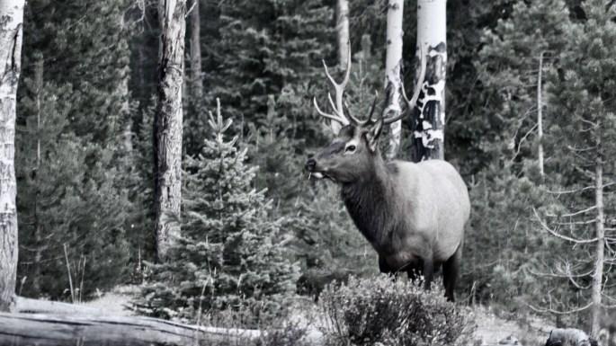 Vintage Elk Photo
