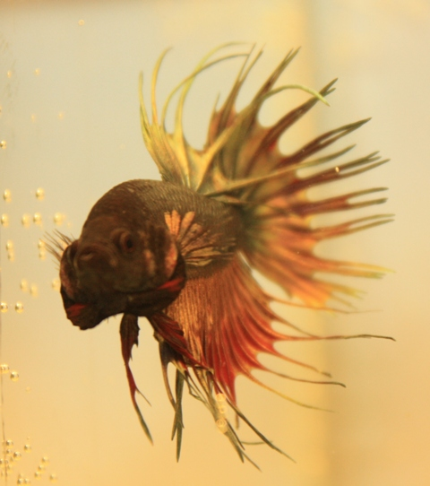 Crowntails for Sale