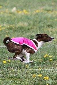 Lure Coursing Brindle Basenji