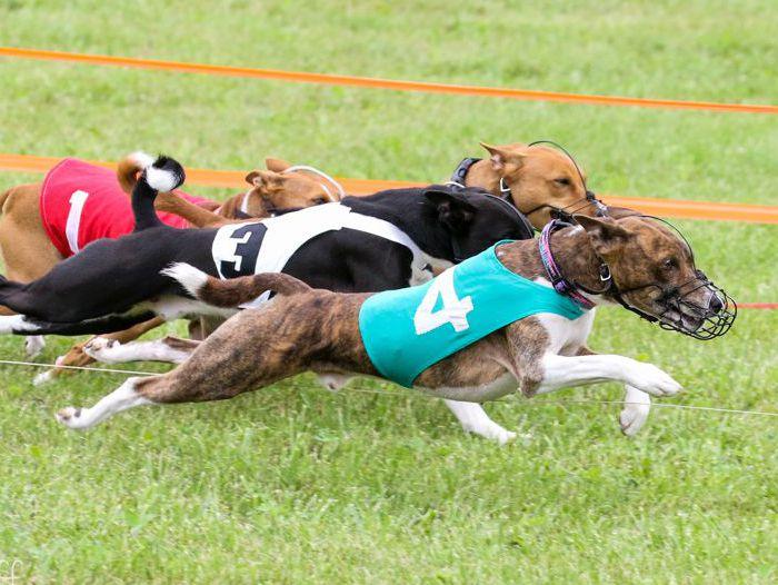 NOTRA Oval Track Racking Basenjis