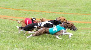 Oval Track Racing Basenjis
