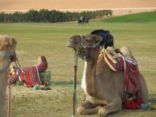 Camel, heerlijk zo liggen stinken in het gras