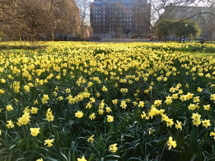 Daffodils in Hyde Park