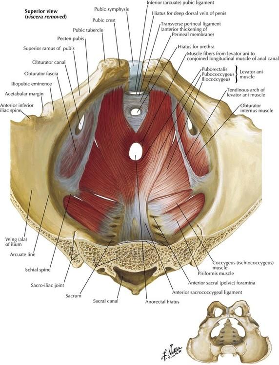 Posterior Pelvis Anatomy