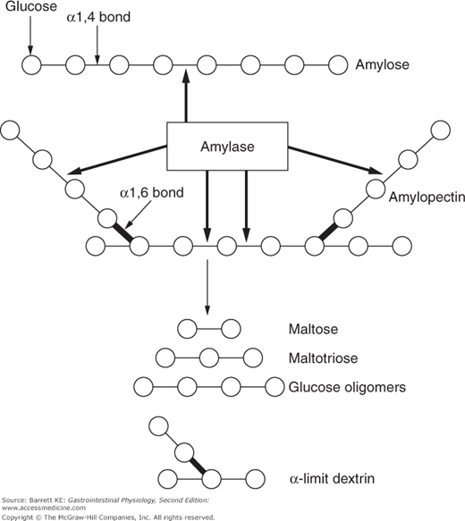 Amylase enzymes and reaction products