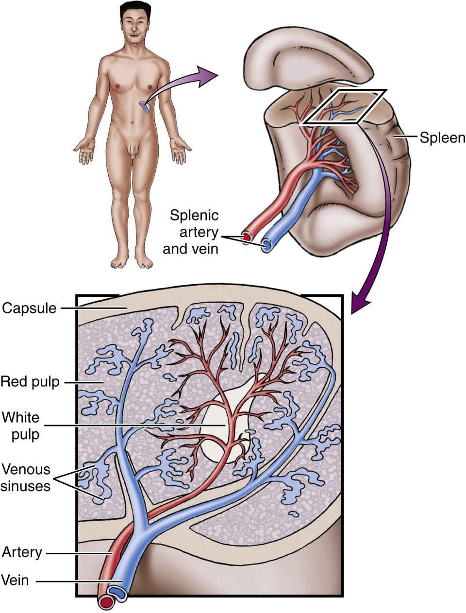 Anatomy and Physiology   Basicmedical Key