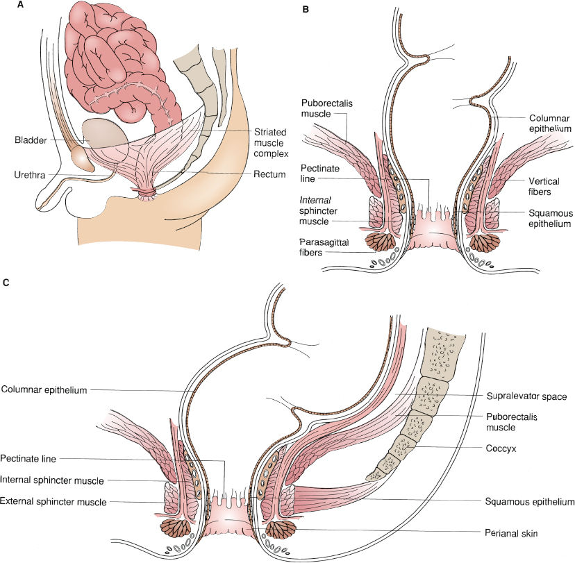 The normal relations of the pelvic striated muscle complex and the rectum.  A: Normal male anatomy. B: Coronal view showing individual components of  the ...