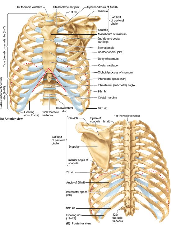 Thorax Basicmedical Key The xiphisternal joint is located between the intermediate body and the caudal xiphoid process. thorax basicmedical key