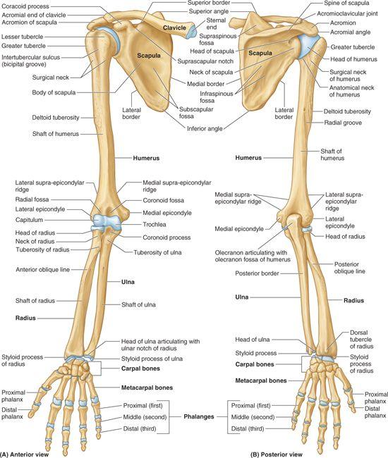 Upper Limb Basicmedical Key