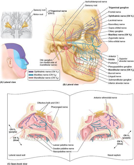 Summary Of Cranial Nerves Basicmedical Key