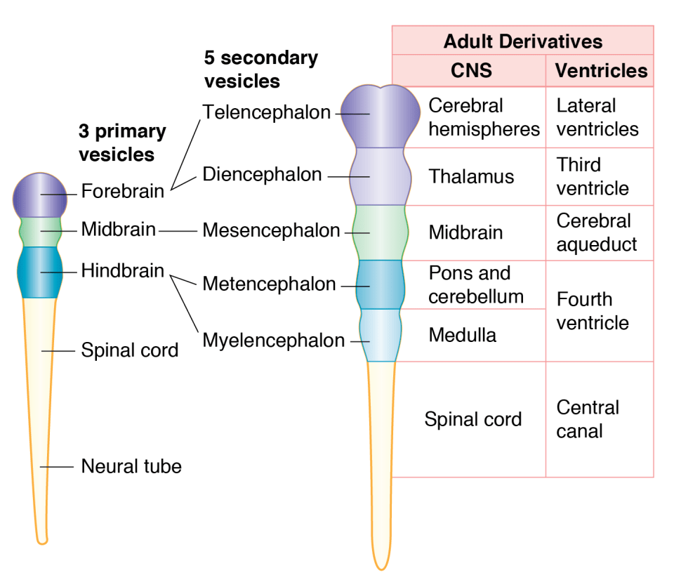Nervous system organization and development basicmedical key central nervous system ccuart Image collections