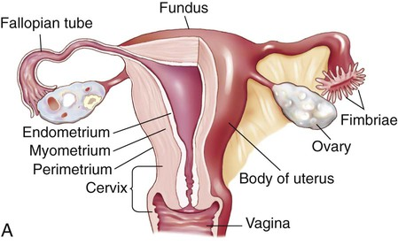 Female Reproductive System | Basicmedical Key
