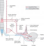 Organs of the Urinary System and their Neurovasculature