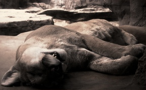 hibernate-mountain-lion.jpg