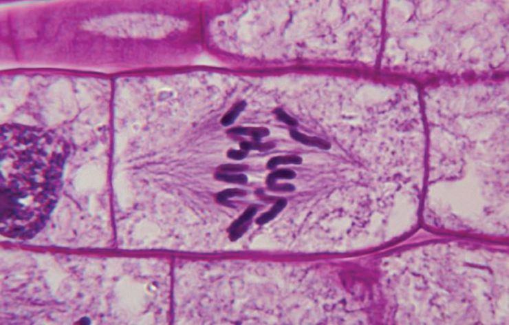 mitose1