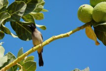 White-spectacled Bulbul, Israel