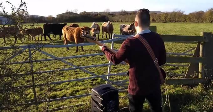 農場で牛の前でベースを演奏する人
