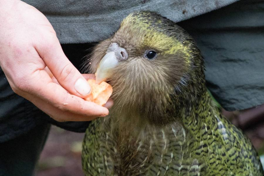 kakapo, flightless parrot, parrot face, hand-fed parrot, critically endangered species