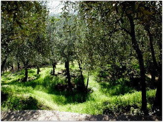 Through the olive groves