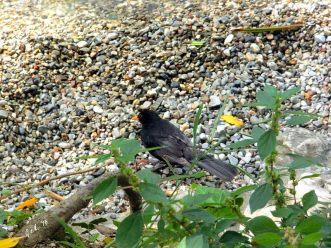 Blackbird_4