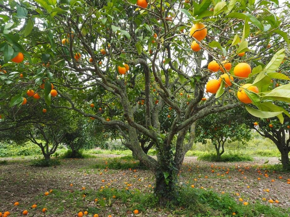 1 - pohon jeruk