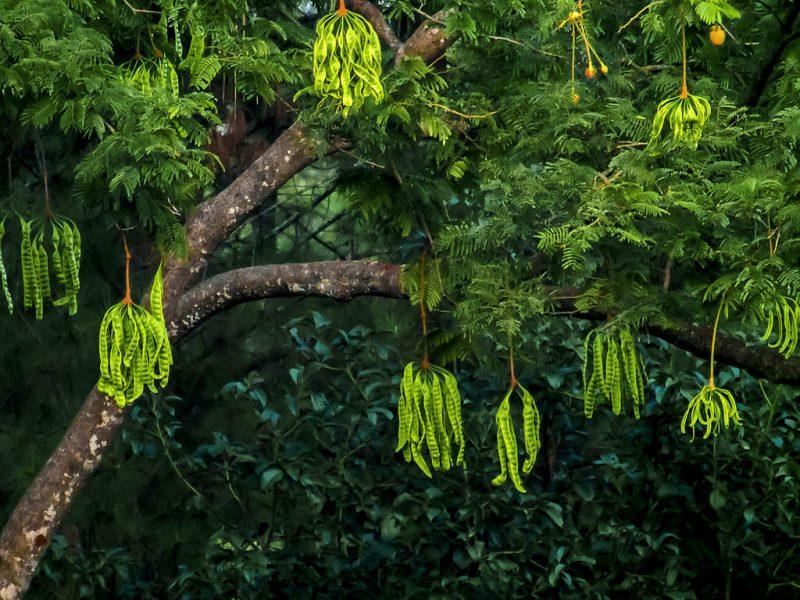 pohon petai