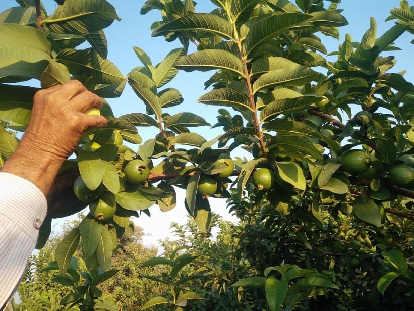 6 - pohon jambu biji