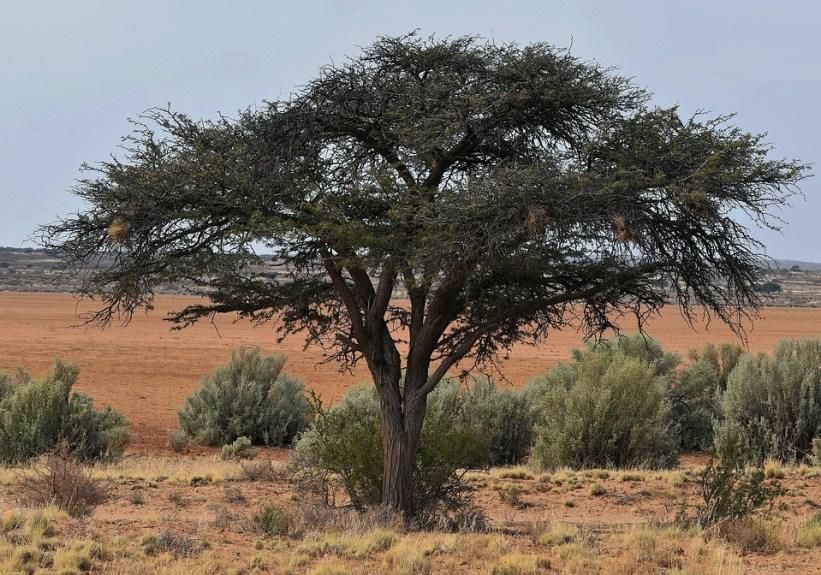 7 - pohon akasia