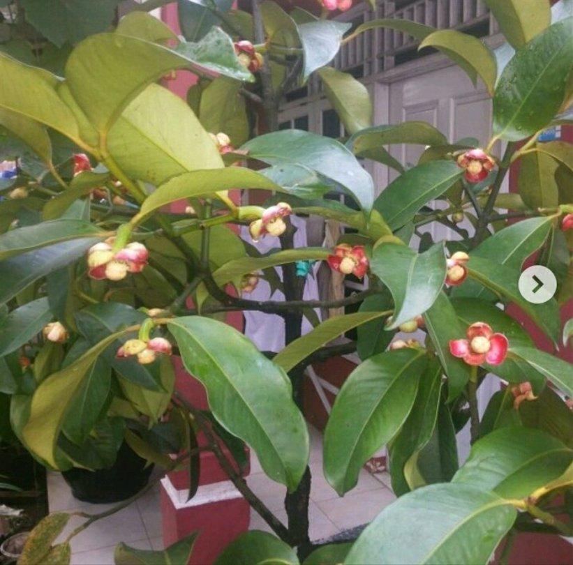 9 - pohon manggis