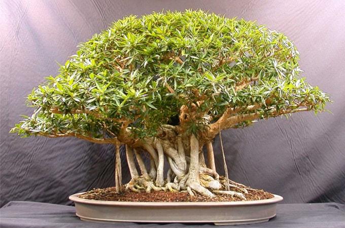 Tanaman hias akar bonsai beringin