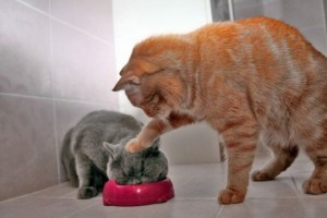 cat-eating-food-funny-picture