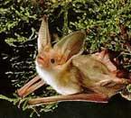 Texas Pest Control   Pallid Bat