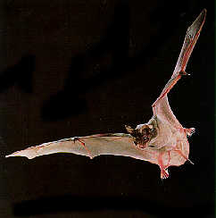 Tennessee Pest Control | Brazilian Free-Tailed Bat