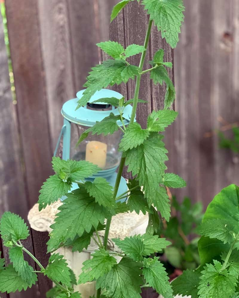 A tall catnip growing in front of a blue lantern