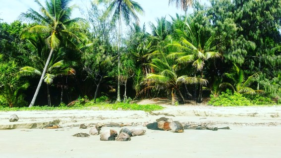 Coconuts scattered on the beach on the edge of the rainforest.