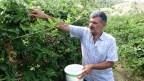 Devlet desteğiyle ekilen böğürtlen bahçelerinde başlayan hasat çiftçinin yüzünü güldürdü