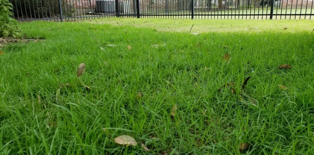 Palisades Zoysia Grass beneath an oak tree in the shade
