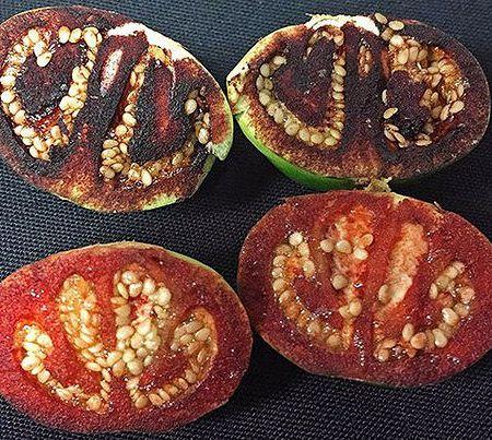 Внизу – незрелый плод Solanum ossicruentum спустя несколько минут после разрезания, вверху – через 20 минут, когда «кровь» уже спеклась.