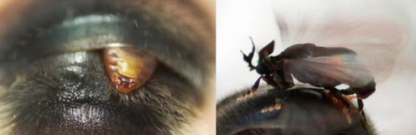 Stylops ovinae