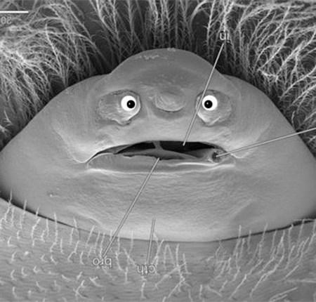 cephalothorax-eyed