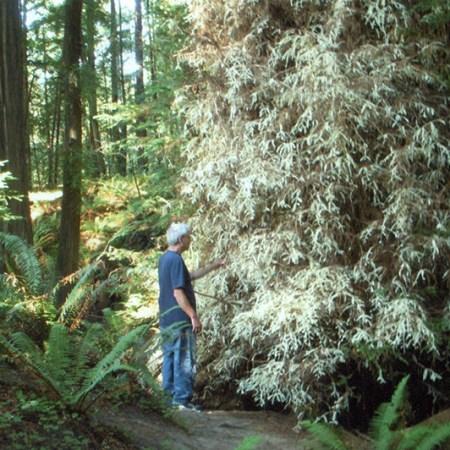 albino-redwood
