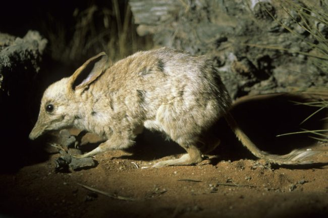 chaeropus-ecaudatus