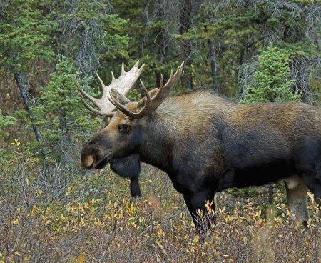 moose-philippe-widling