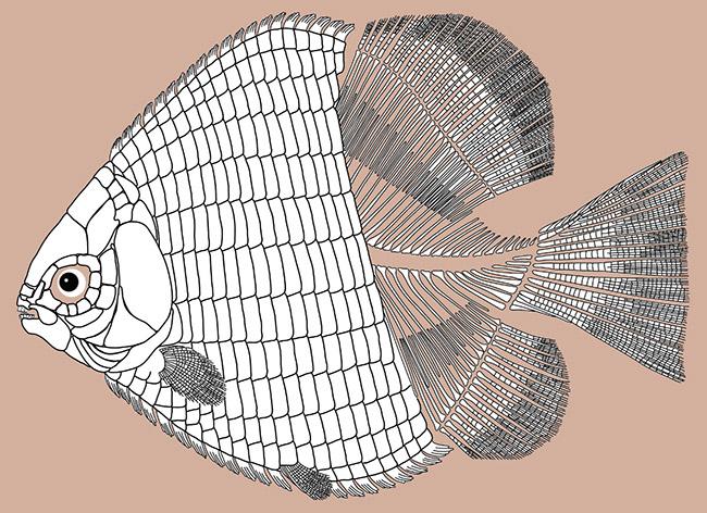 hemicalypterus-weiri